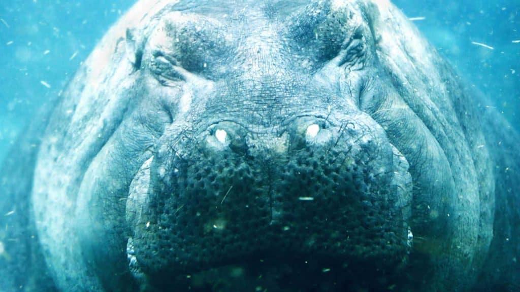 Nilpferd im Wasser. Sinnbild für Verdickungs- und Thixotropiemittel